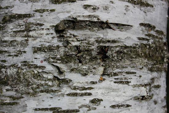 Baum Textur 2