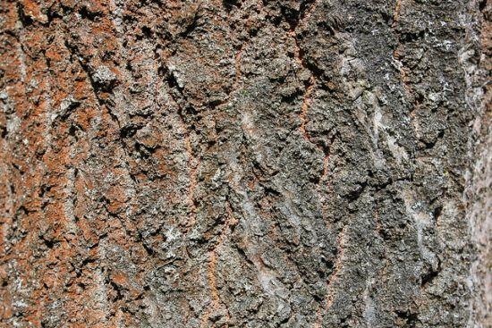 Baum Textur 4