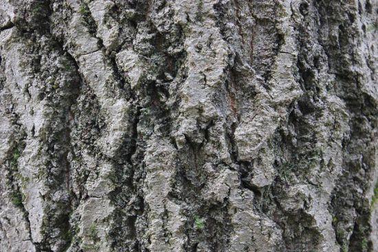 Baum Textur 5